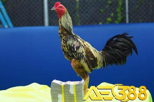 Sốc: 1 con gà tại Thái Lan có giá chuyển nhượng lên đến 29.000 đôla